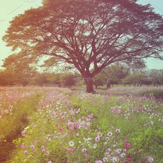 Beautiful tree in flowered field Photos Beautiful tree in flowered field with retro filter effect by Nuchylee Photo Present Day, Pastel Colors, Vintage Photos, Fields, Poppies, Filter, My Photos, Country Roads, Around The Worlds
