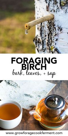 Birch trees have many edible and medicinal uses and are great to forage for! Learn how to harvest and use birch bark, leaves, sap, and make birch bark tea this fall and winter season. Survival Food, Homestead Survival, Survival Quotes, All Nature, Back To Nature, Healing Herbs, Medicinal Plants, Natural Medicine, Herbal Medicine