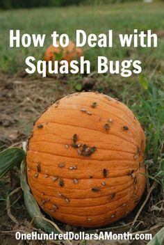 How to Deal with Squash Bugs. These buggers will eat everything. Plant mint, chives and tansy right with the squash. // Swede Cottage Farm //