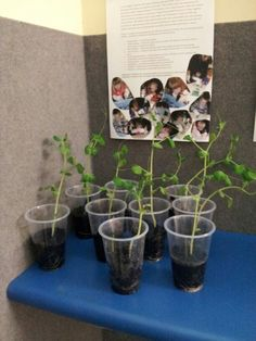 Whats happening underground - Growing peas in clear cups, children are able to watch the roots form