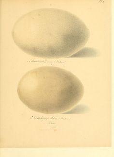 Zur Fortpflanzungsgeschichte der gesammten Vögel Dresden,[1856?]. biodiversitylibrary.org/page/13663147