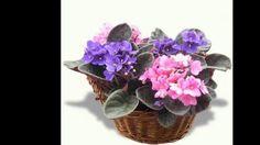 Violeta africana. Cultivo y cuidado.