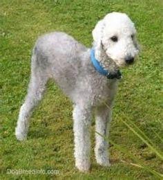 Bedlington Terrier Puppies: Bedlington Bedlington Terrier Puppies ...
