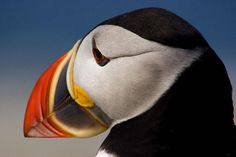 Puffins just rock!