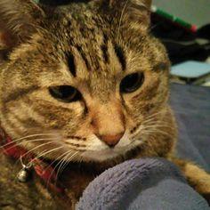 「おはにゃーん❗good morning❗  #ねこ #猫 #猫写真 #ネコ #ニャンコ強化月間 #しましま軍団 #キジネコ #キジトラ #cat #catstagram #instacat #kitty #tabby #neko #고양이」