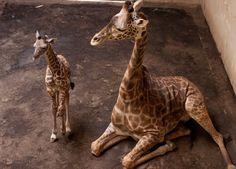 Baby giraffe born at Santa Barbara Zoo http://ift.tt/2aqHt9u