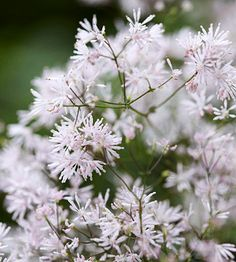 Thalictrum kiusianum halictrum kiusianum is a shade-loving groundcover with blue-green leaves topped by pinkish flowers in early summer. It grows 4 inches tall and 12 inches wide. Zones 5-8
