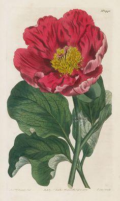 Daurian Peony from 1815 Curtis Botanical Magazine Red, Orange Highly Decorative Prints
