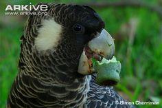 Endangered Species of the Week: Carnaby's black-cockatoo