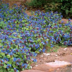 Hardy Plumbago is one of the most versatile  groundcovers for cold climates growing in both sun and shade and most soil types. It blooms in late summer with deep blue flowers followed by the foliage that turns burgundy red in fall.