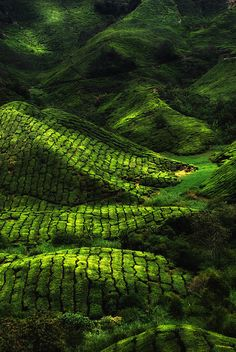 Tea Farm in the Cameron Highlands of Malaysia. Apart from its tea estates, the plateau is also noted for its cool weather, orchards, nurseries, farmlands, waterfalls, rivers, lakes, and wildlife.
