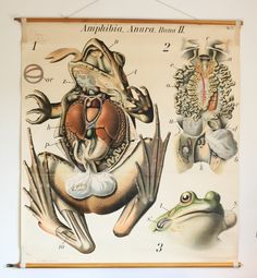 school poster, Anatomy of a Rana, no.27, Pfurtscheller's Zoological Wall Chart