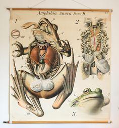 school poster, Anatomy of a Rana, no.27, Pfurtscheller's Zoological Wall Chart