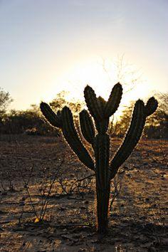 cacto xique xique do sertão Dandelion, Branding, Flowers, Plants, Married Couple Photos, Cactus Plants, Brand Management, Dandelions, Plant