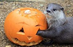 Halloween otter from dailyotter.org