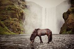 Gígja Einarsdottir was born and raised with Icelandic horses. Although it's not surprising that she takes incredible photos of Icelandic horses in Iceland—as both the horses and the landscape are beautiful—her photos also benefit from her love and understanding of the horses themselves.