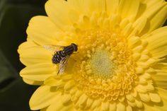 Sundayz® with bee outdoor gerbera