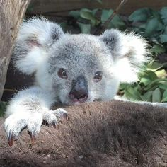 Funny Koala, Cute Funny Animals, Cute Baby Animals, Animals And Pets, Vida Animal, The Wombats, Australian Animals, Cute Animal Pictures, Cute Creatures
