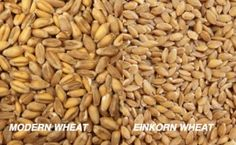 The 4 Reasons Why I'm Switching to Einkorn Wheat  (many people with gluten sensitivity can eat Einkorn bread, it tasted good, plus, it's twice as high in protein and minerals as modern wheat!)