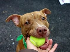 TO BE DESTROYED 1/21/14 Manhattan Center -P  My name is RAD. My Animal ID # is A0989289. I am a male tan and white pit bull mix. The shelter thinks I am about 2 YEARS   I came in the shelter as a STRAY on 01/11/2014 from NY 10013, owner surrender reason stated was STRAY.  https://www.facebook.com/photo.php?fbid=742468035766078&set=a.611290788883804.1073741851.152876678058553&type=3&theater