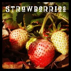 My Word with Douglas E. Welch » Photo: Strawberries | A Gardener's Notebook | DouglasEWelch.com #garden via Instagram