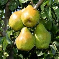 Novembra Paradis, Black Magic, Fruit, Agriculture, Plant