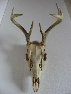 http://markopolio-stock.deviantart.com/art/Deer-Skull-1-57236738