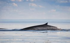 Victory! There Will Be No Fin Whaling in Iceland This Summer