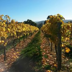 Autumn in the vineyard, another vintage done and dusted '15