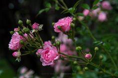 Mit diesen wunderschönen Blümchen  - gefunden bei @sibaberlin im Garten - wünsche ich euch einen sonnigen Sonntag und melde mich gleichzeitig zurück aus einer längeren Pause.       #pink #rosa #flowers #blumen #roses #beautiful #garden #nature #instagarden #instaflower #summer #nikon #d500  @martinradloff #marasign