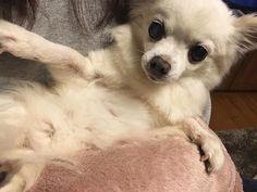 🐶 . . お姫様抱っこしてもらったよ 👸🏽💗 . .  #chiroru #chihuahua#dog #mypet #family #perro #love #white #instagood #dogstagram #l4l #camera #カメラ #チワワ #ロングコート #チロル #家族 #ペット #親バカ部 #チワワ部 #チワワ #チワワのいる生活 #愛犬 #わんすたぐらむ #ふわもこ部 #お姫様抱っこ