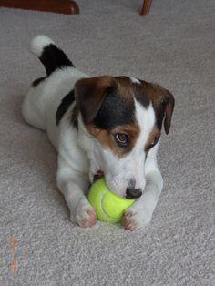 Hugo (Jack Russel Terrier)