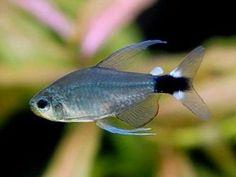 What an elegant-looking tetra! Saltwater Aquarium Fish, Glass Aquarium, Freshwater Aquarium Fish, Tropical Aquarium, Saltwater Tank, Tropical Fish, Aquascaping, Tetra Fish, Aquatic Ecosystem