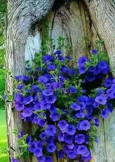 Gorgeous Petunias brightening up a tree trunk - About Garden and Flowers Unusual Flowers, Amazing Flowers, Purple Flowers, Beautiful Flowers, Beautiful Beautiful, Purple Petunias, Flowers Nature, Wild Flowers, Orquideas Cymbidium