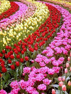 Keukenhof, Holland #Keukenhof #flowers #Holland