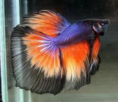Betta fish are often considered to be among the heartiest sort of fish one can purchase, but great betta fish care is essential to a long and happy life. Pretty Fish, Cool Fish, Beautiful Fish, Animals Beautiful, Colorful Fish, Tropical Fish, Poisson Combatant, Aquariums, Betta Fish Care