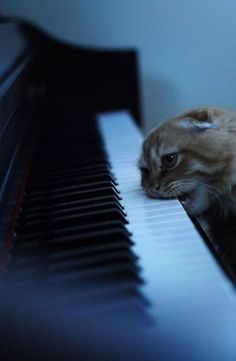 OM NOM NOM DELICIOUS PIANO.  I've got one of these cats...she's like a baby, everything goes into her mouth.