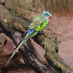 Australian Parrots, Cockatoo, Parakeet, Hanging Out, Princess, Animals, Interior, Colorful, Bright