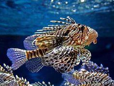 A Vida Nas Águas do Mar Vermelho  Peixe-Leão