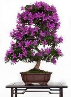 Violet flowers of a azalea bonsai