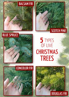 types of live christmas trees - How To Start A Christmas Tree Farm