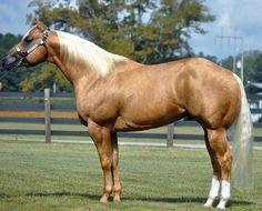 All The Pretty Horses, Beautiful Horses, Animals Beautiful, Quarter Horses, American Quarter Horse, Big Horses, My Horse, Show Horses, Black Horses