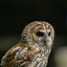 Stunning portrait of Tawny Owl Strix Aluco - Beautiful portrait of Tawny Owl Strix Aluco