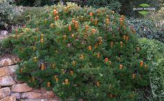 Banksia spinulosa Bush Candles