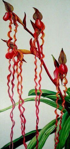 orchids of sarawak   ... of the rarest of rare orchids from sarawak paphiopedilum sanderianum