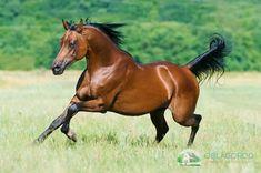 Purebred Arabian Stallion #arabianhorses Arabian Stallions, Andalusian Horse, Friesian Horse, Beautiful Arabian Horses, Pretty Horses, Farm Photography, Animal Photography, Horse Galloping, Quarter Horses