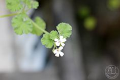 Oravankesäpesä | Tuoksupelargoni Pelargonium odoratissimum 'Omppu'