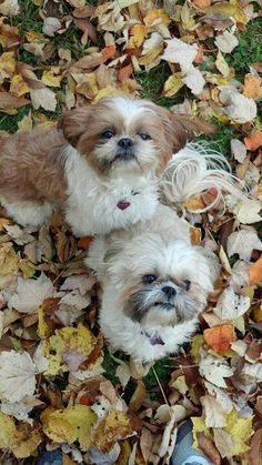 Playing in the fall leaves.