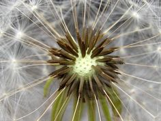 Can you guess this is a dandelion