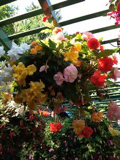 Begonias-Buchart Gardens